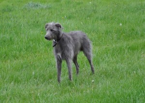 Called the Lurcher. Not big but a relentless courser.